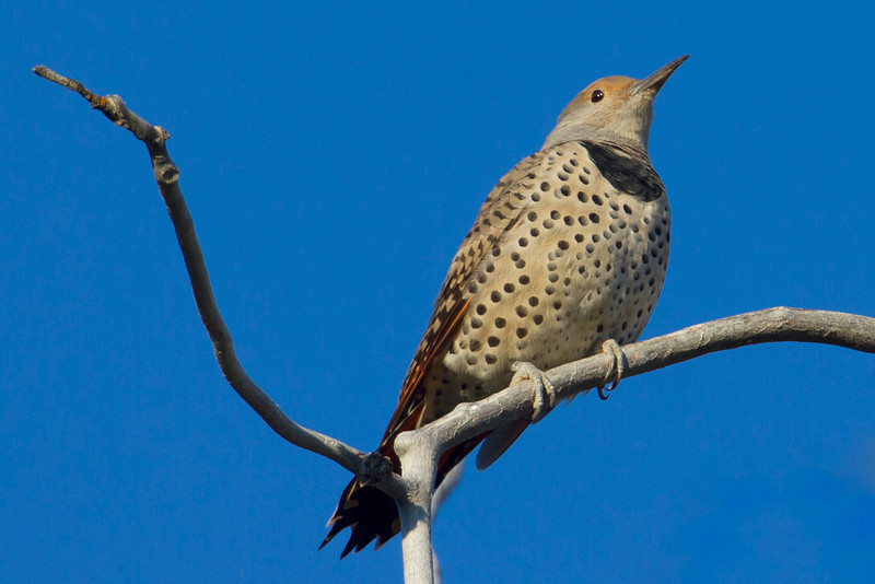 Female North American Flicker in Targhee National Forest, Idaho. Sep 7, 2012.