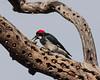 Female Acorn Woodpecker (Melanerpes formicivorus)