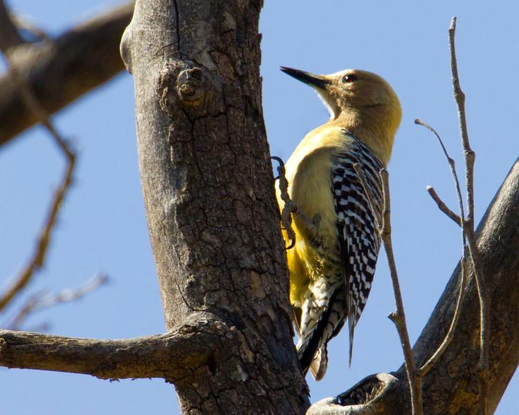 Gila Woodpecker (female) in Bubbling Ponds Bird Refuge, Page Springs, AZ. April 2012.