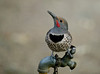 Northern Flicker in Silent Valley, San Jacinto area.