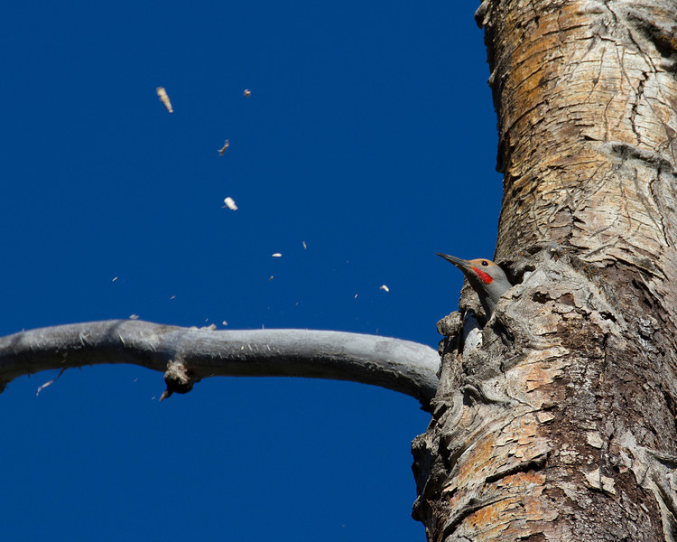 Northern Flicker building a nest. Targhee Forest, Island Park, Idaho 2013