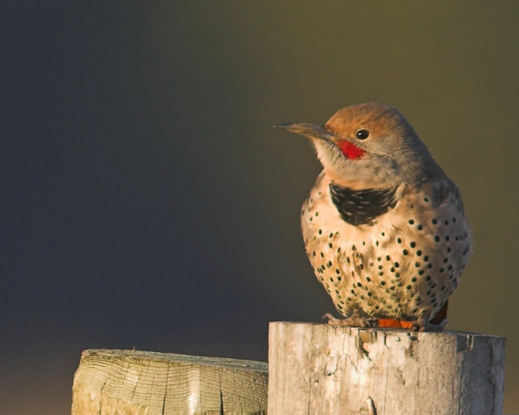 Northern Flicker  (Colaptes auratus) in Red Rock Lakes National Wildlife Refuge. Sep 2007