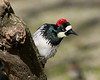 Female Acorn Woodpecker (Melanerpes formicivorus) in San Jacinto Mtns of southern California.