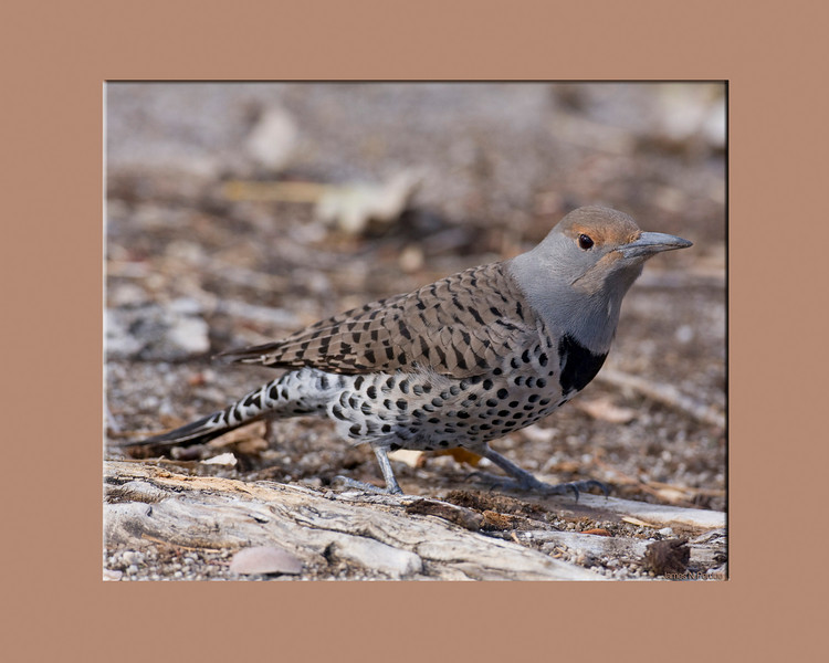 Northern Flicker (Female)  (Colaptes auratus) at Silent Valley in December 2007