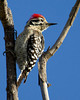 Ladder-backed Woodpecker (Picoides scalaris) along the Verde River near Camp Verde, Arizona. April 7, 2011.