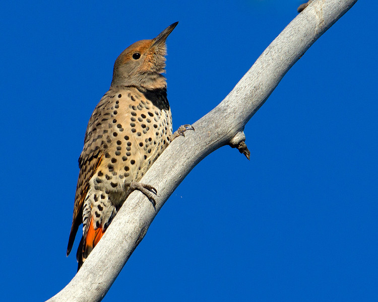 Female Northern Flicker showing orange tail feathers. Tarhee Forest, Idaho. Sep 7, 2012.