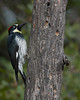 Female Acorn Woodpecker (Melanerpes formicivorus) at Cloverdale, California. October 2010