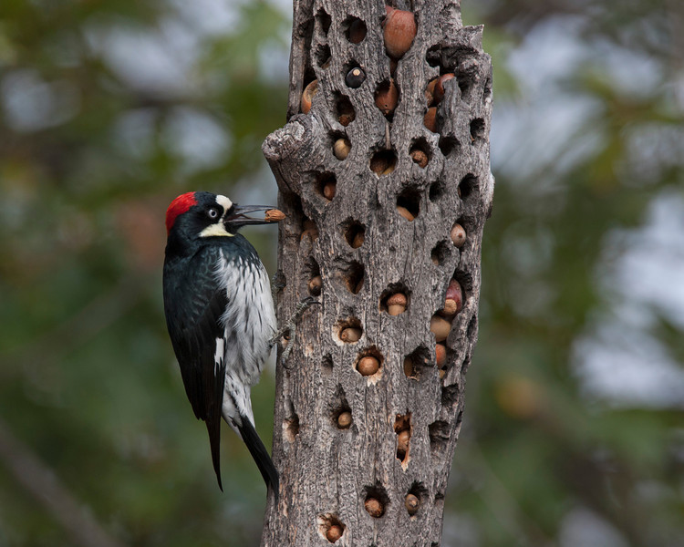 Female Acorn Woodpecker (Melanerpes formicivorus) adding to her winter stash of acorns at the Russian River Resort near Cloverdale, California. October 28, 2010.
