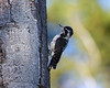Three-toed Woodpecker in Targhee Forest, Sep 7, 2012. Idaho