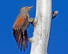 Female Flicker showing her wing colors. Island Park, ID Sep 8, 2012