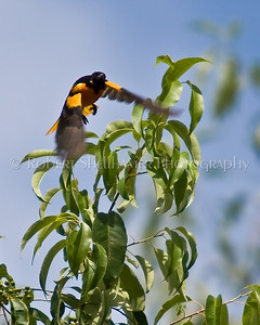 Shellhamer_Nature_Oriole in Flight