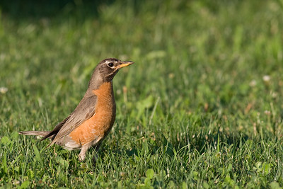Yes, it's a Robin
