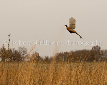 Nature_Ring Necked Pheasant_Rob Shellhamer