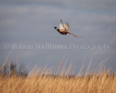 Pheasant Takes Flight