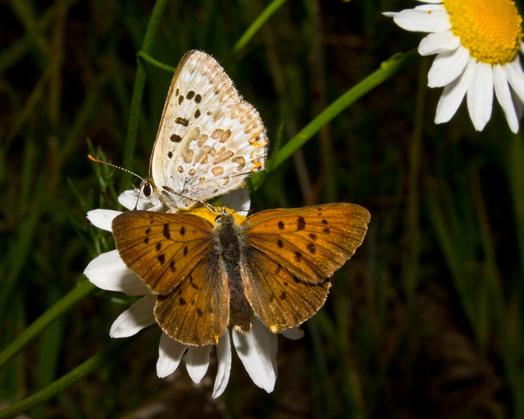 Blue Copper Female Butterflies on Scentless Chamomile flower in Island Park, Idaho, July 22, 2012.