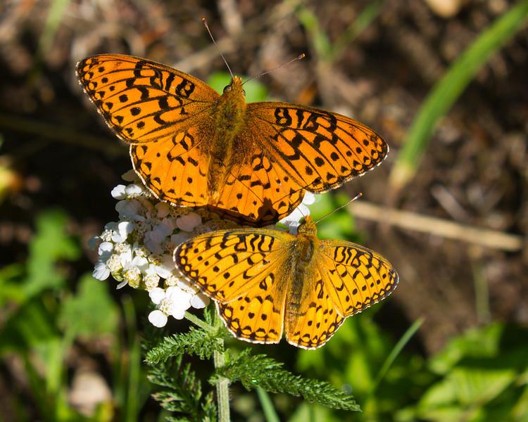 Fritallary Butterflies along Red Rock Road in Island Park, Idaho. July 17, 2012.