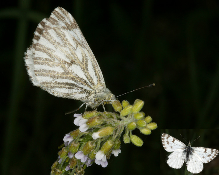 Western White butterfly (inset is front). Along Two Tops Forest road near Island Park, Idaho. July 4, 2008