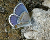 Orange-bordered Blue Butterfly in Red Rock Lakes National Wildlife Refuge (Lycaeides Melissa) July 31, 2008