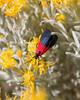 Lycomorpha pholus - Black-and-yellow Lichen Moth