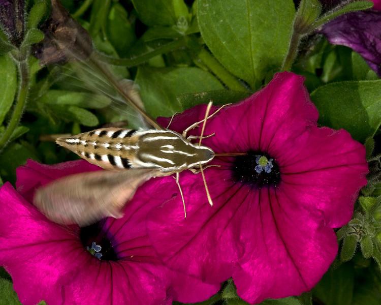 Hummingbird Moth, Idaho. August 2008