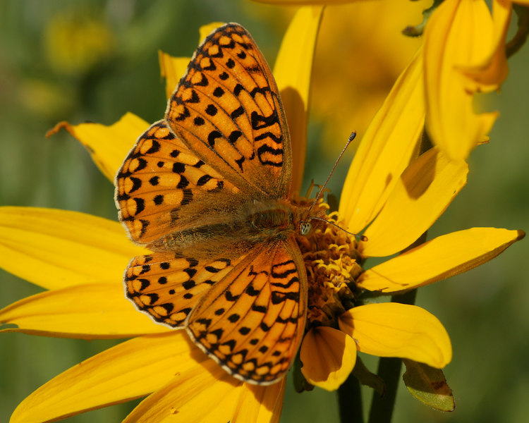 Callippe Fritillary Butterfly (Speyeria callippe) in Idaho near Island Park.  Feeding on Little Sunflower.