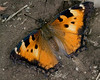 California Tortoiseshell (Nymphalis californica) Butterfly in Red Rock National Wildlife Refuge, Montana. Probably a COMMA. July 31, 2008