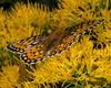Fritallary Butterfly RRLNWR