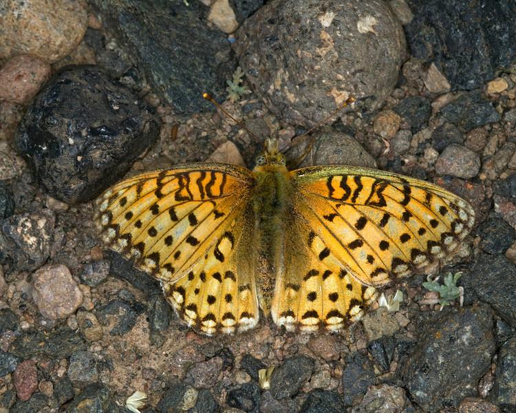 Edwards Fritillary (Speyeria edwardsii) near Red Rock RV Park, Island Park, Idaho. July 31, 2008