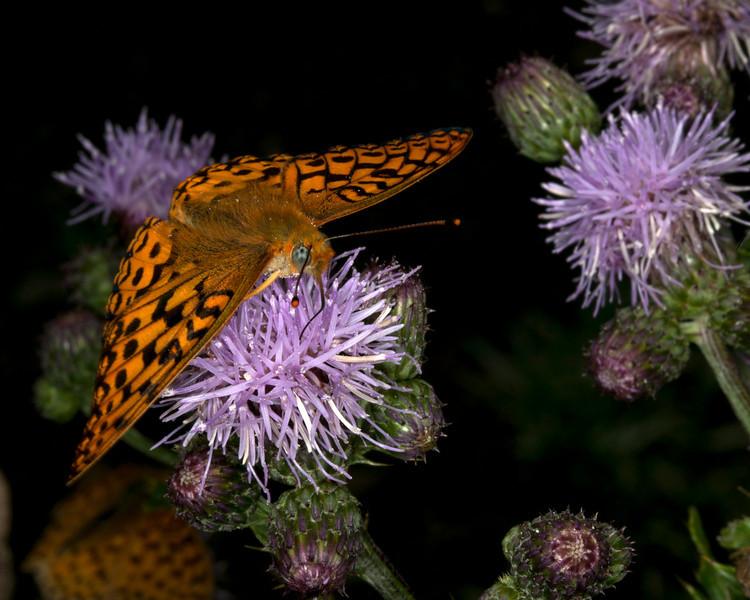 Fritallary Butterfly on thistle in Island Park, Idaho.