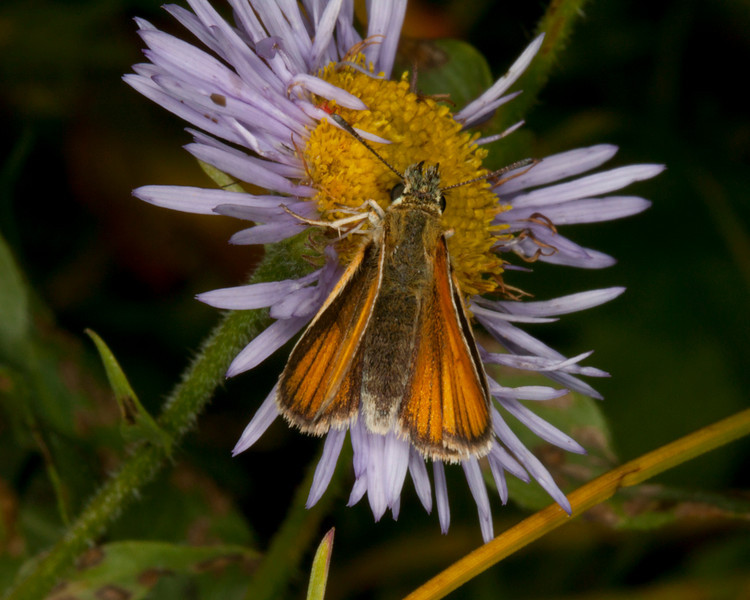 Folded wing skipper (specific species unknown) feeding on aster. Island Park, Idaho. August 17, 2010.