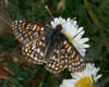 Edith's Checkerspot Butterfly (Euphydryas editha) in Montana, July 29, 2009