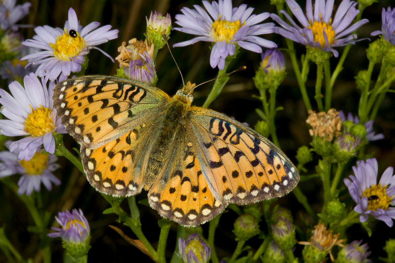Fritallary Butterfly and wildflowers at Red Rock RV Park, Island Park, Idaho, August 10, 2008.