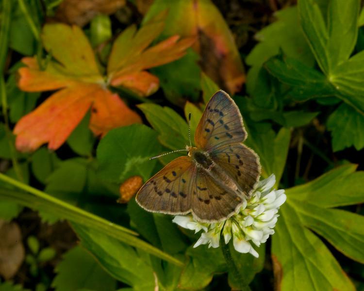 Dorcas Copper Butterfly (Epidemia dorcas) in Montana. July 29, 2009