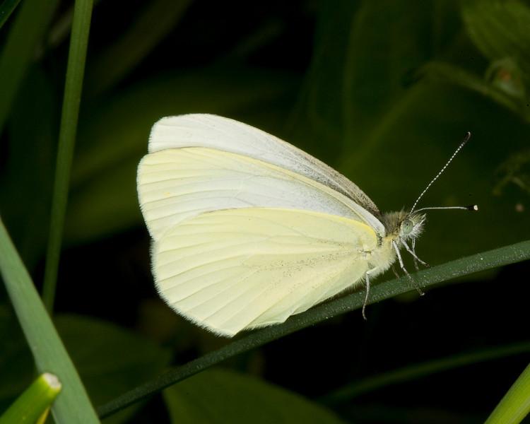 PerhapsWhite or Sulfur Butterfly. In wildflower meadow along Red Rock Road, Island Park, Idaho. July 6, 2008.
