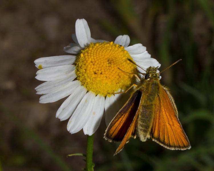 Folded wing skipper butterfly on scentless chamomile flower in Island Park, Idaho. July 22, 2012.