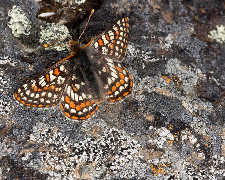 Edith's Checkerspot Butterfly (Euphydryas editha) near Red Rock Lakes National Wildlife Refuge Montana. Note the camaflouge colorings against the rock. June 18 2008.