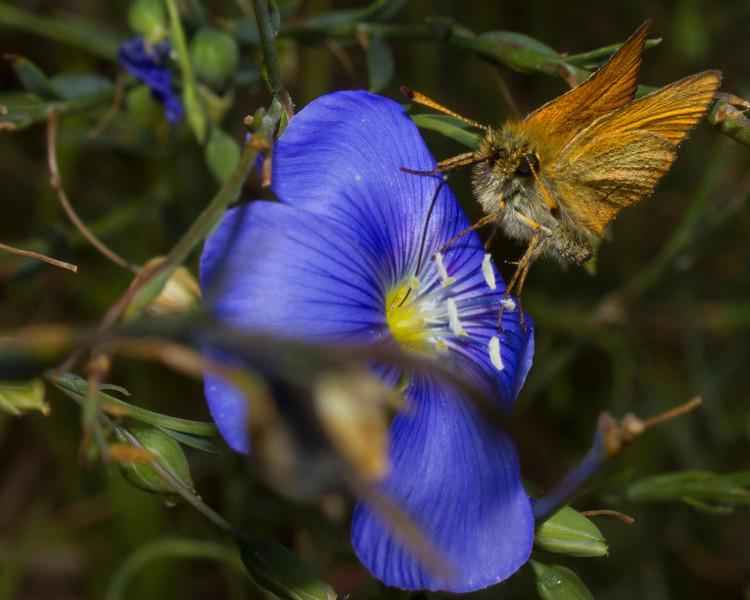 Folded wing Skipper butterfly on Wild Blue Flax wildflower near Island Park, Idaho. July 22, 2012.