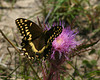Swallowtail Butterfly on Thistle at Aransas National Wildlife Refuge, Apr 2007