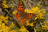 Satyr Anglewing butterfly on Rabbitbrush at Widgeon Pond, Red Rock Lakes National Wildlife Refuge. Aug 18, 2012