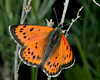 Lustrous Copper Butterfly (Lycaena cupreus), Idaho.