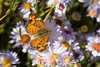 Pearl Crescent (Phyciodes tharos)