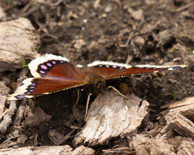 Mourning Cloak (Nymphalis antiopa) butterfly in Targhee Forest, near Island Park, Idaho. May 2013