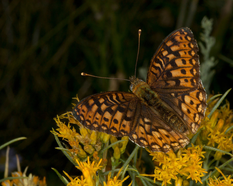 Fritallary Butterfly on Rabbit Brush in Red Rock Lakes Nat'l Wildlife Refuge. Aug 18 2011.