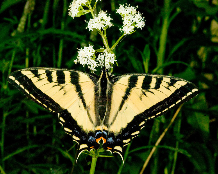 Tiger Swallowtail butterfly (Pterourus glaucus)along forest road near Island Park, Idaho. July 3, 2008.