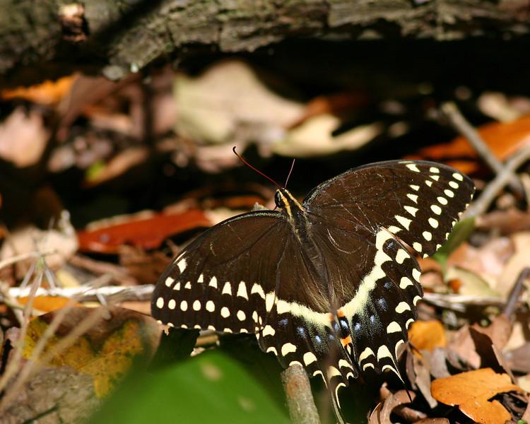 Swallowtail Butterfly in Aransas National Wildlife Refuge, Texas.