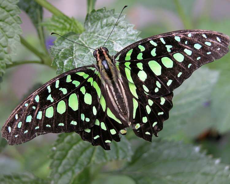 Malachite (Siproeta stelenes) Butterfly from Sioux Falls Butterfly House. Beautiful green butterfly.