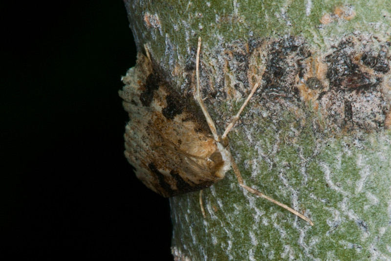 Notice how this moth landed on a strip of this aspen tree that resembled its own coloration. Mimicry in action.  July 31, 2012. Idaho.