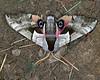 Eyed-Hawkmoth (Smerinthus ocellata?) in Island Park, Idaho, July 27, 2008. (Moth)