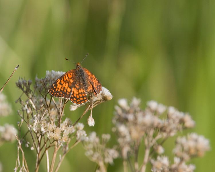 Fritallary Butterfly on old Yarrow flower. Idaho July 2009