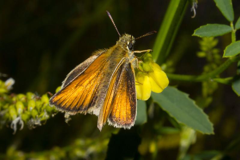 Folded wing skipper butterfly on wildfllower in Island Park, Idaho. July 22, 2012.
